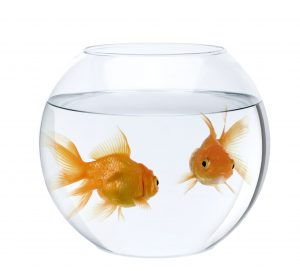 Curo Accountant goldfish-min